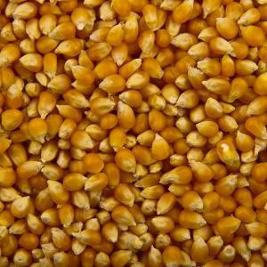 popcorn-en-grain